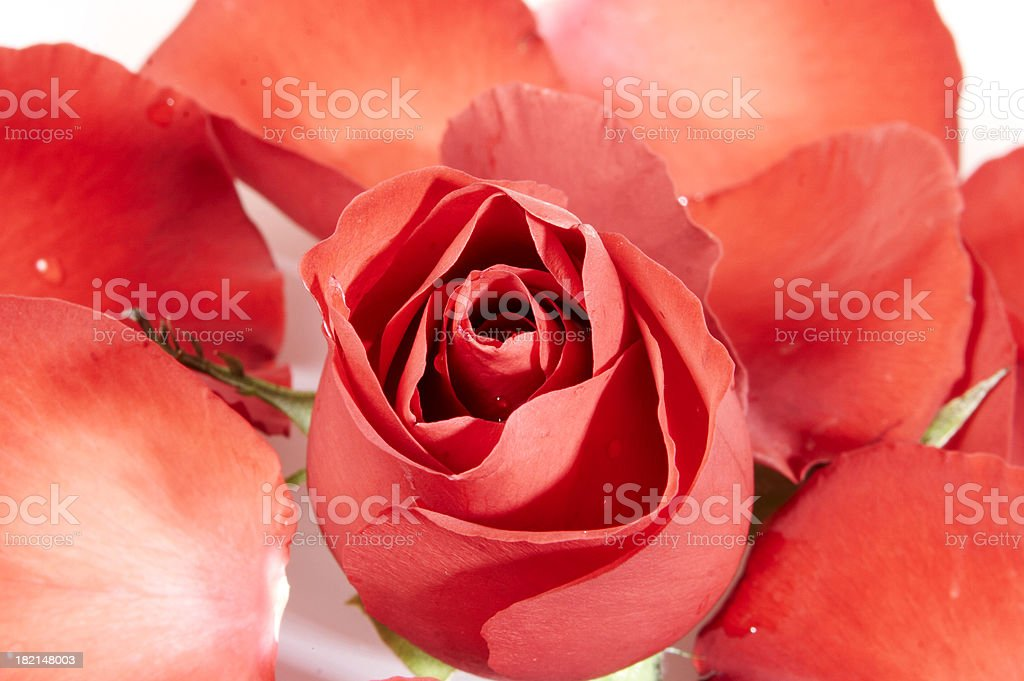 Red rose and petals royalty-free stock photo