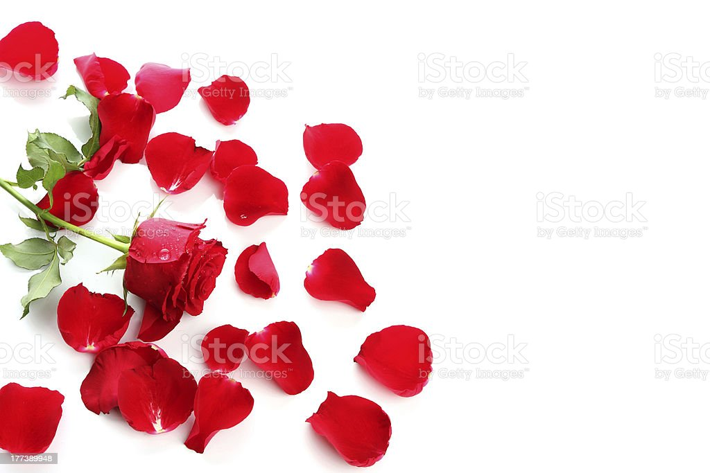 A red rose and scattered rose petals on a white background stock photo