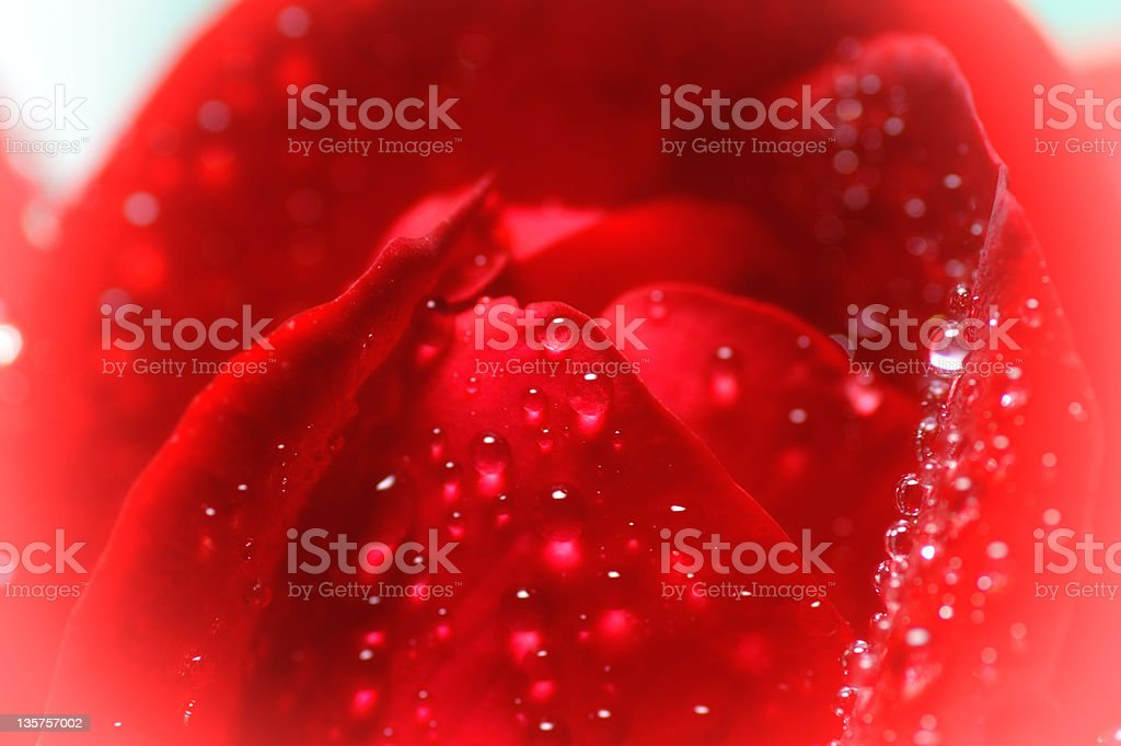 Red rose and water drops -  macro royalty-free stock photo