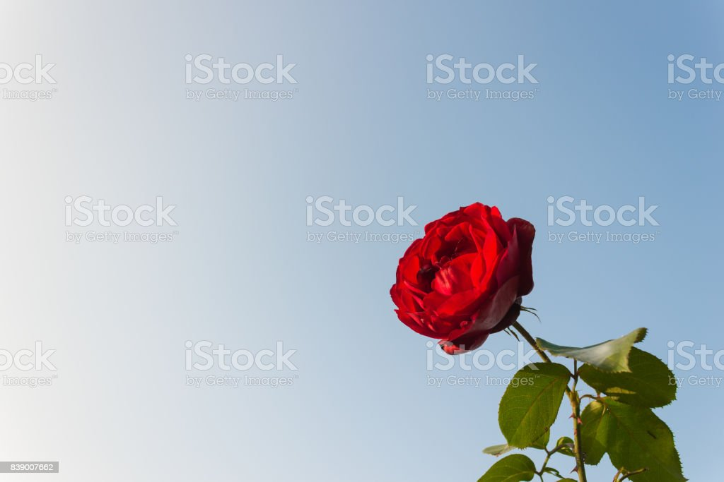 Red Rose at Bottom Right on Blue Sky Background stock photo