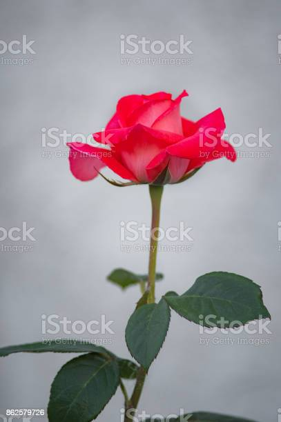 Red rose bloom gray background picture id862579726?b=1&k=6&m=862579726&s=612x612&h=xwmoeeiwpzqfux8s5vu44a2 v6zq6o1z598wh0bribw=