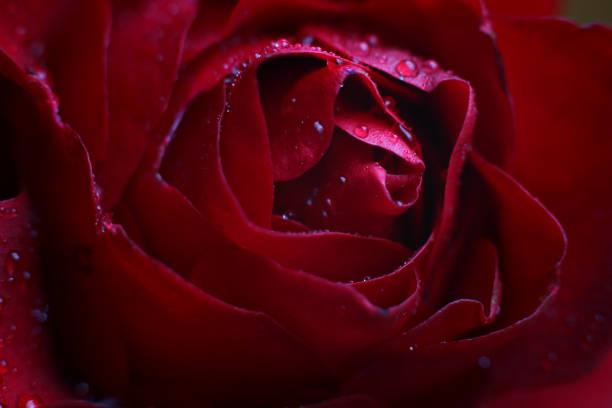 露滴の赤いバラの芽を閉じる - ぼやけた自然な背景にアップ ストックフォト