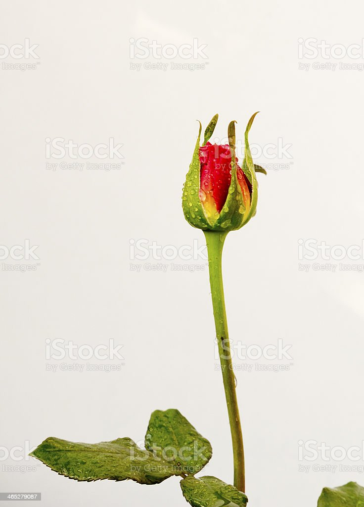 Red rose bud stock photo
