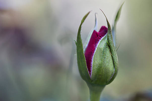 red rose bud - Photo