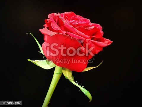 Close up of a red rose against a black background
