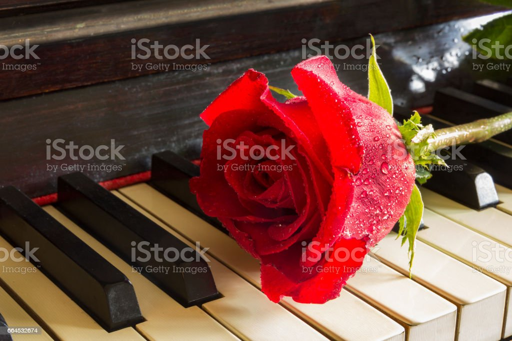 Red rose . close up stock photo