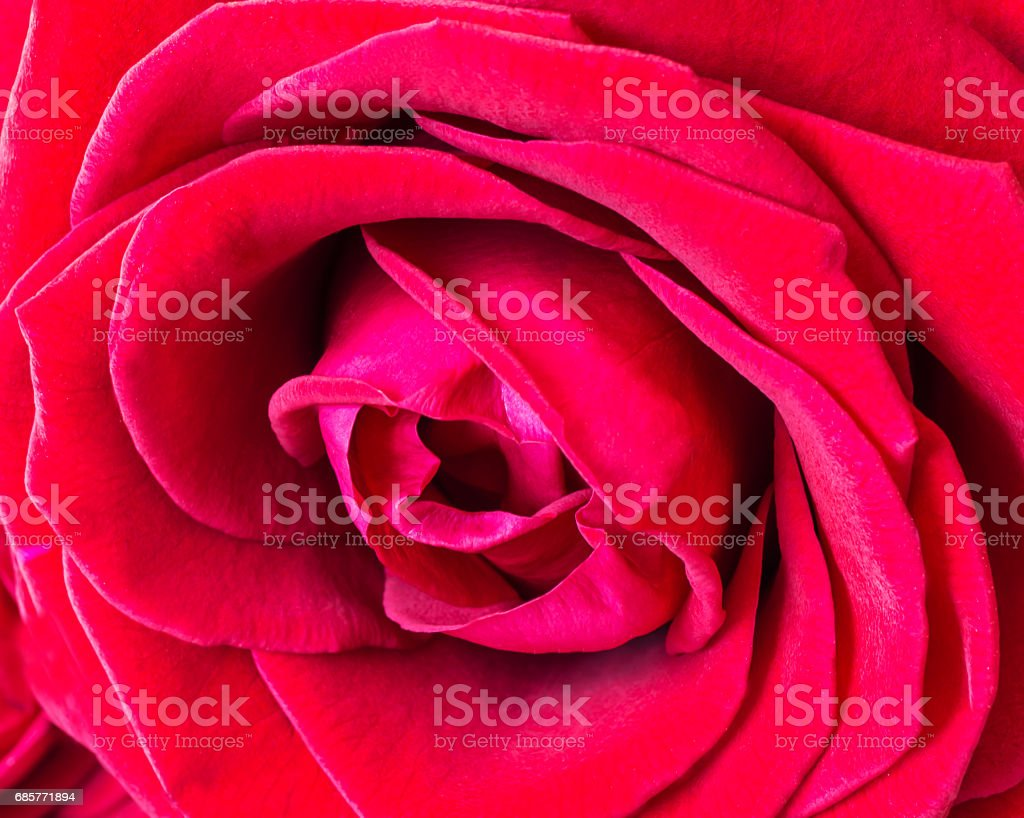 red rose close up royalty-free stock photo