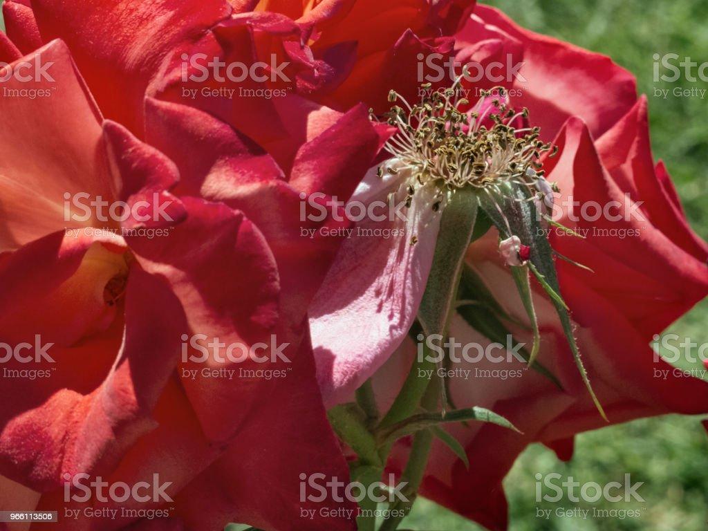 Röd ros närbild - Royaltyfri Blomma Bildbanksbilder