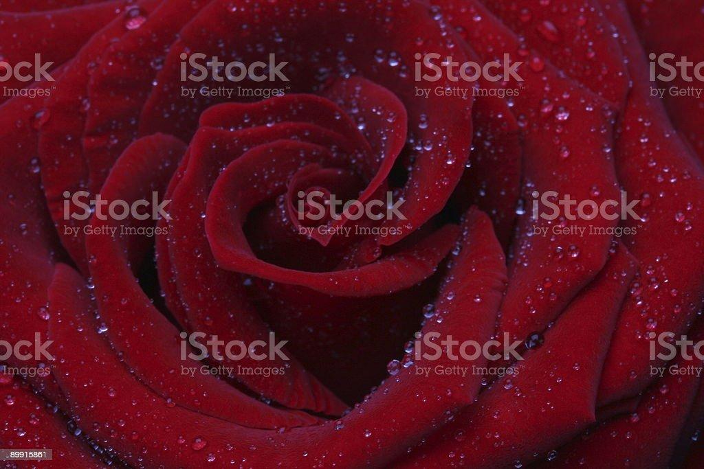Rosa rossa primo piano grande foto stock royalty-free