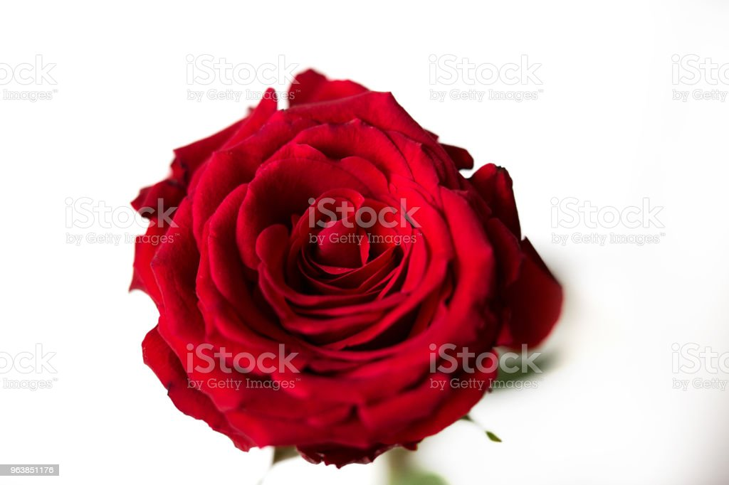 Red rose close-up, isolated on white background. - Royalty-free Beauty Stock Photo