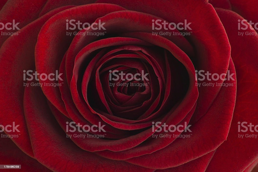 Red rose close-up royalty-free stock photo