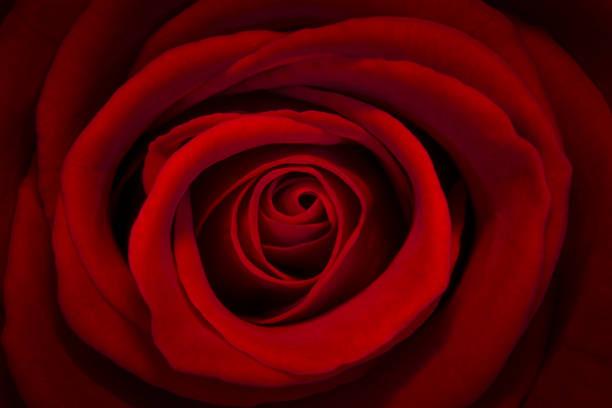 Red rose closeup picture id653602186?b=1&k=6&m=653602186&s=612x612&w=0&h=zid4h5dyuhwloy8kwssw3fsi ryy6iiooj xxivmrr4=