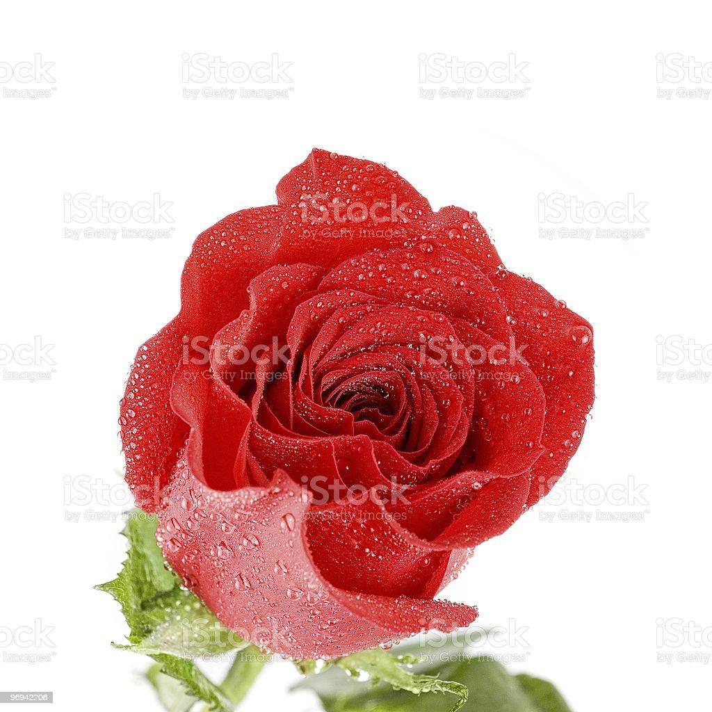 red rose closeup royalty-free stock photo