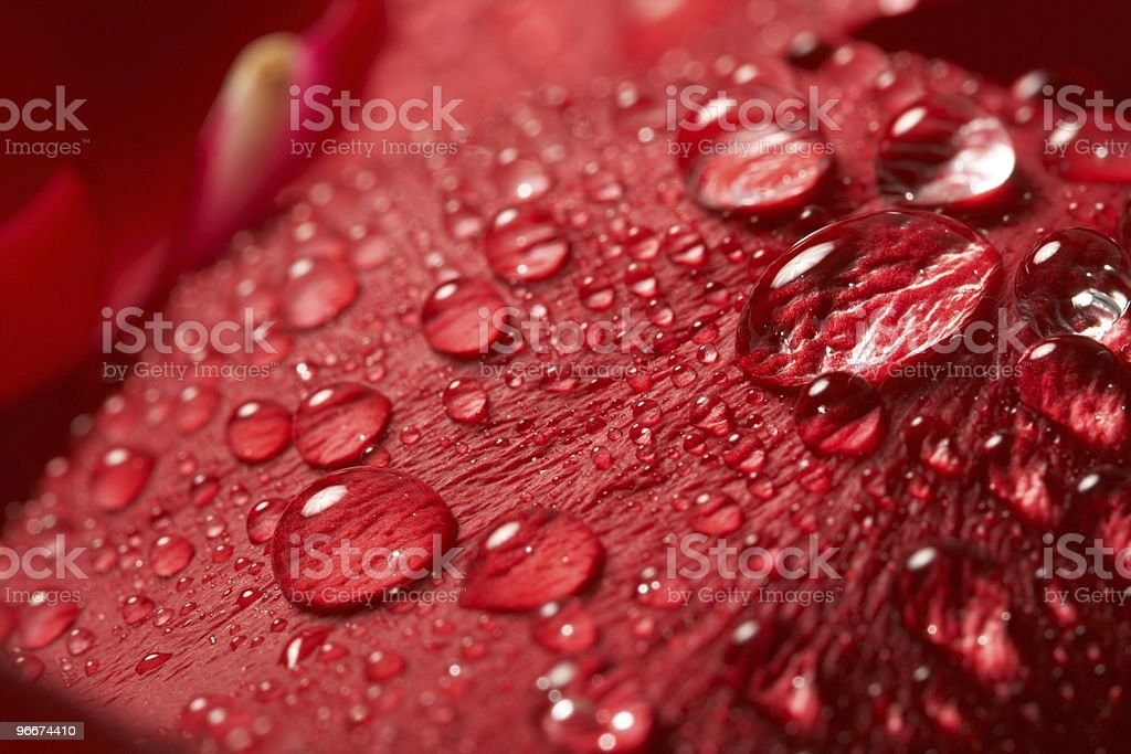 red rose, drop water royalty-free stock photo