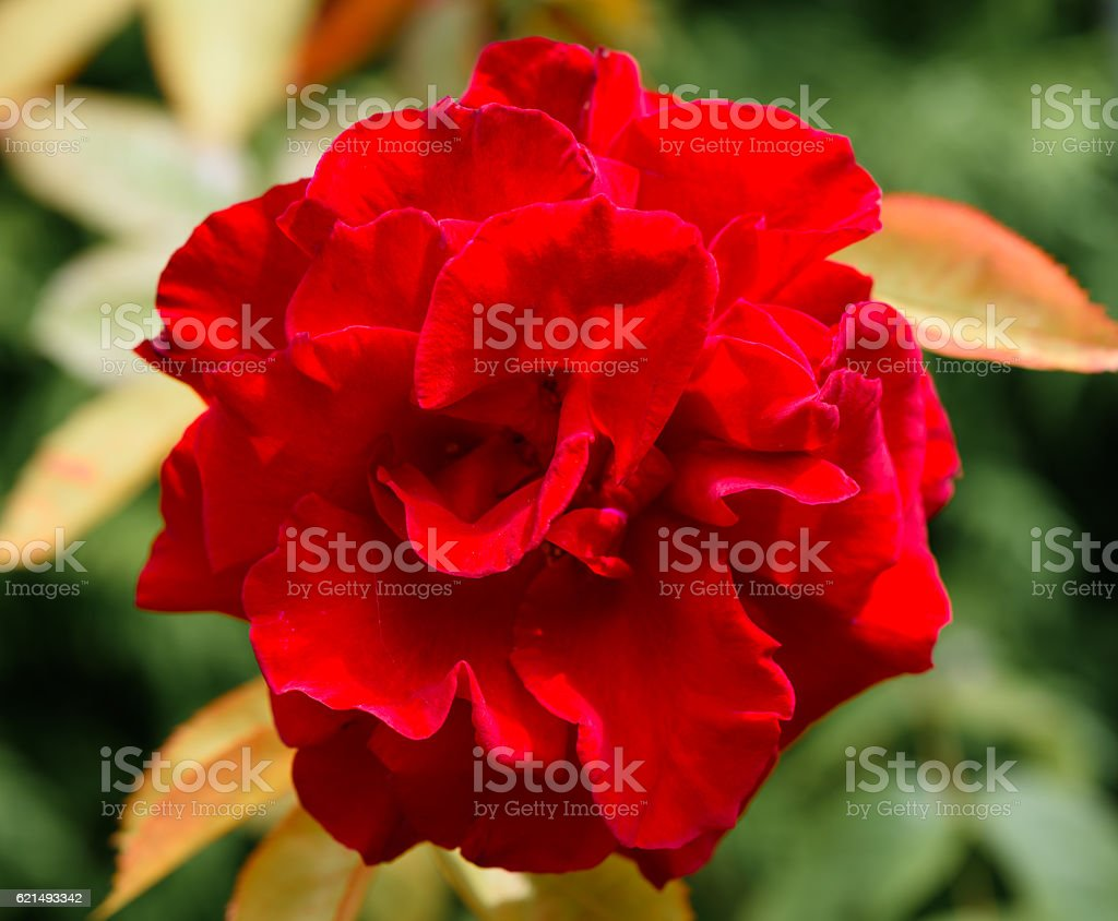 Red Rose face on foto stock royalty-free