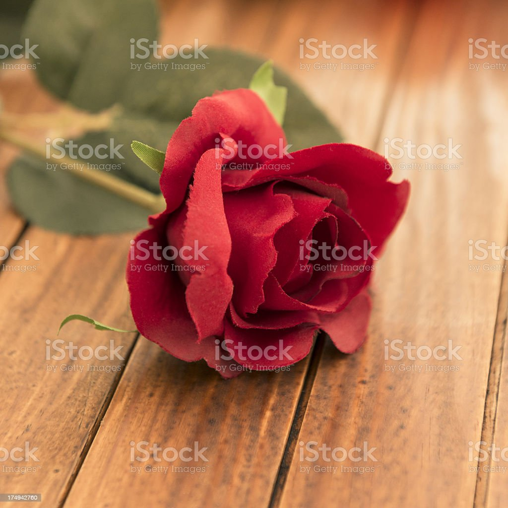 Red rose flower for st. valentine royalty-free stock photo