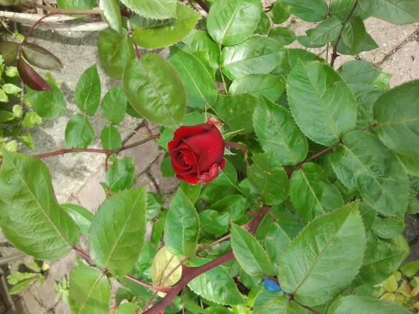 Red rose flower garden picture id828812480?b=1&k=6&m=828812480&s=612x612&w=0&h=er8fjeebbhqx0jtazxfkp77bin0z3xrfnnav8jtsc0s=