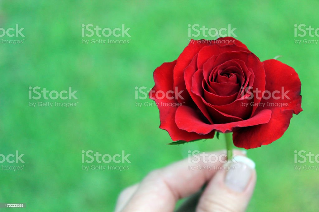 Red Rose Flower Held in Fingers stock photo