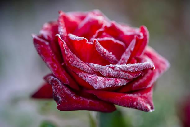 Red rose flower in the first frost close up picture id1179769188?b=1&k=6&m=1179769188&s=612x612&w=0&h=fzujxf rkxxhtrisrotwj8y7quodbwkuwf6 n3xdsew=
