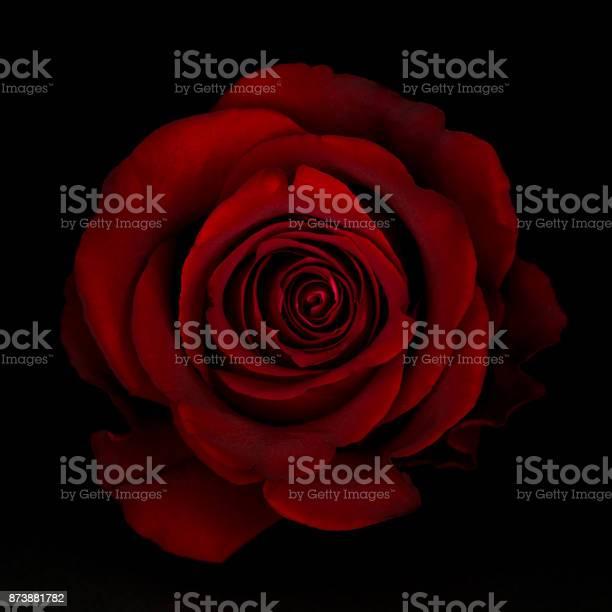Red rose flower isolated on the black background picture id873881782?b=1&k=6&m=873881782&s=612x612&h=mndz1luc6zurddn6syxxbcyxff5un1byaiwcbxoxrpo=