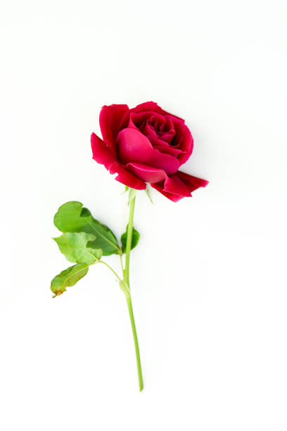 Red rose flower isolated on white background picture id1152418373?b=1&k=6&m=1152418373&s=612x612&w=0&h=nwxskr15n5rhh7jxzsykc6e mf8iq1tm qqzf6oa 8c=