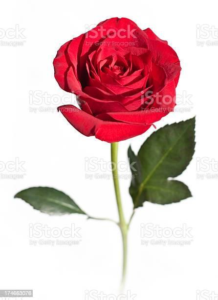 Red rose flower isolated on white picture id174663076?b=1&k=6&m=174663076&s=612x612&h=xyxdzpi 9mleghrzug88fmetomzxe cahrerbq4k tk=