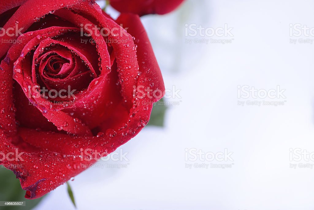 red rose flower isolated royalty-free stock photo