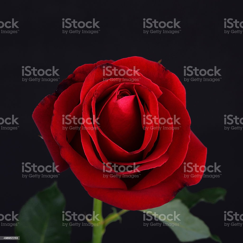 Red rose flower on black background stock photo