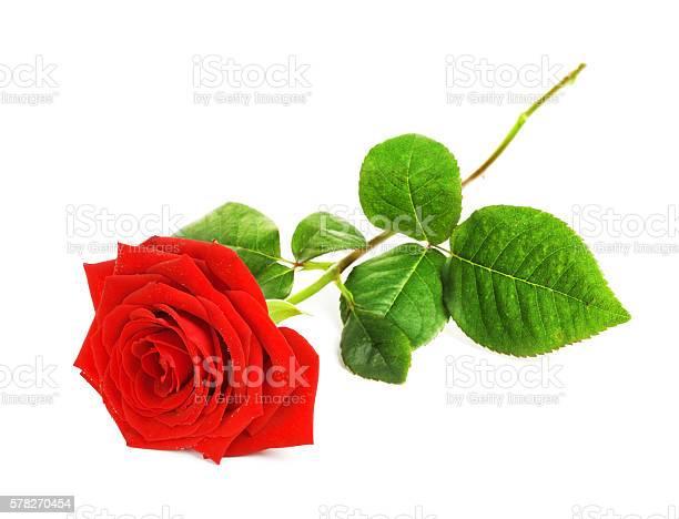 Red rose flower picture id578270454?b=1&k=6&m=578270454&s=612x612&h=5xahvw yyjnfvitcobodsditm6j8xekhcrer7kjnbg0=
