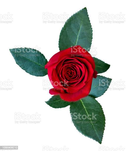 Red rose flower with green leaves isolated on white background rose picture id1095909210?b=1&k=6&m=1095909210&s=612x612&h=hlhgqz8huyat9k56a7wqlwcudxf vznyc2jfpxct9b4=