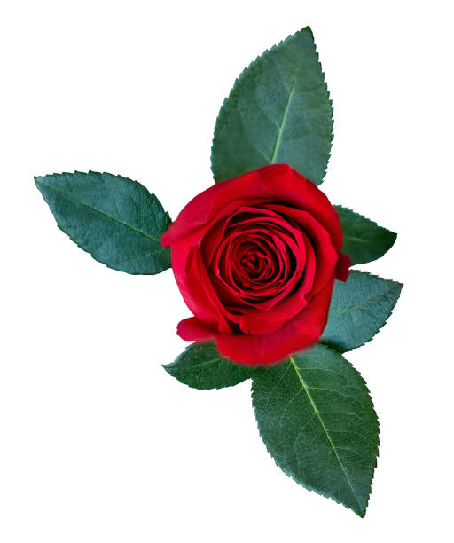 Red rose flower with green leaves isolated on white background rose picture id1095909210?b=1&k=6&m=1095909210&s=612x612&w=0&h=f41feo4aqm  snyjkiotc zd6g tvtnpmeyw1rlu9wi=
