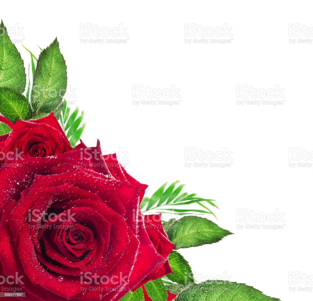 Red rose flower with green leaves on white background, corner border