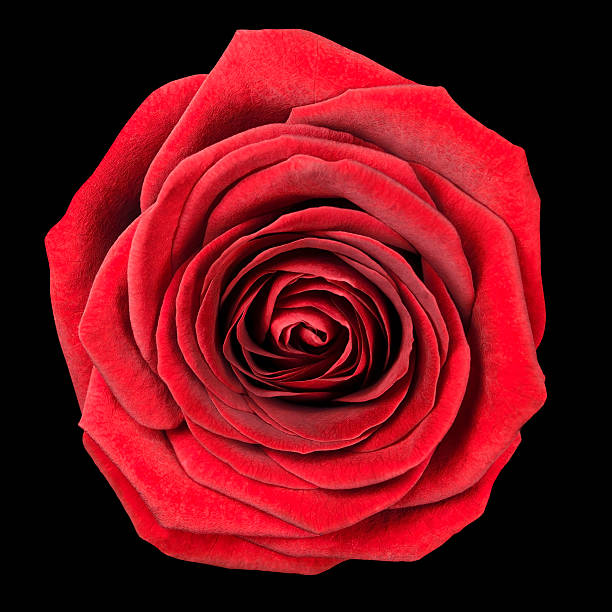 Red rose flowerhead isolated on black picture id152997961?b=1&k=6&m=152997961&s=612x612&w=0&h=ajtvwnlnl nw9djuagtb5ijfqhsd8mjowjcrjjnq5ak=