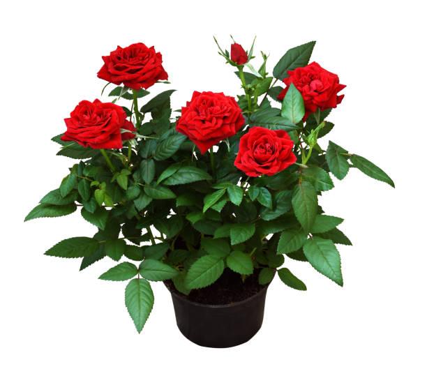 Red rose flowers in a pot picture id1180995323?b=1&k=6&m=1180995323&s=612x612&w=0&h=ybawuvvidxxt6uymdtwdlwtjj fwonuhf3bzy8xgwqm=