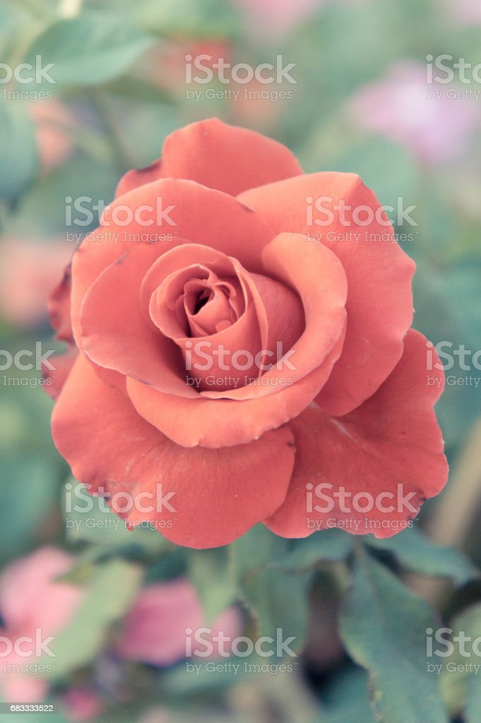 red rose flowers  in the garden , colorful rose royalty-free stock photo