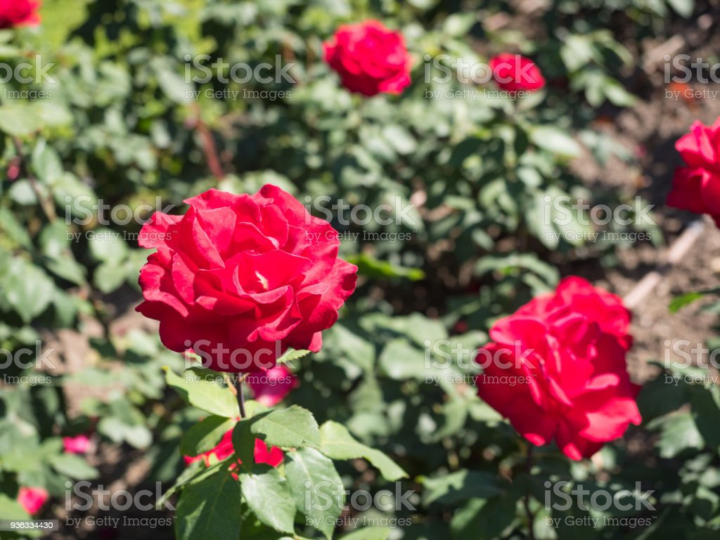 Red Rose flowers in the garden stock photo