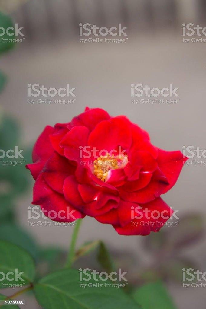 Foto De Flores Rosas Vermelhas Na Natureza Do Jardim A Flor