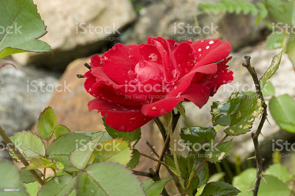 red rose for a lover royalty-free stock photo