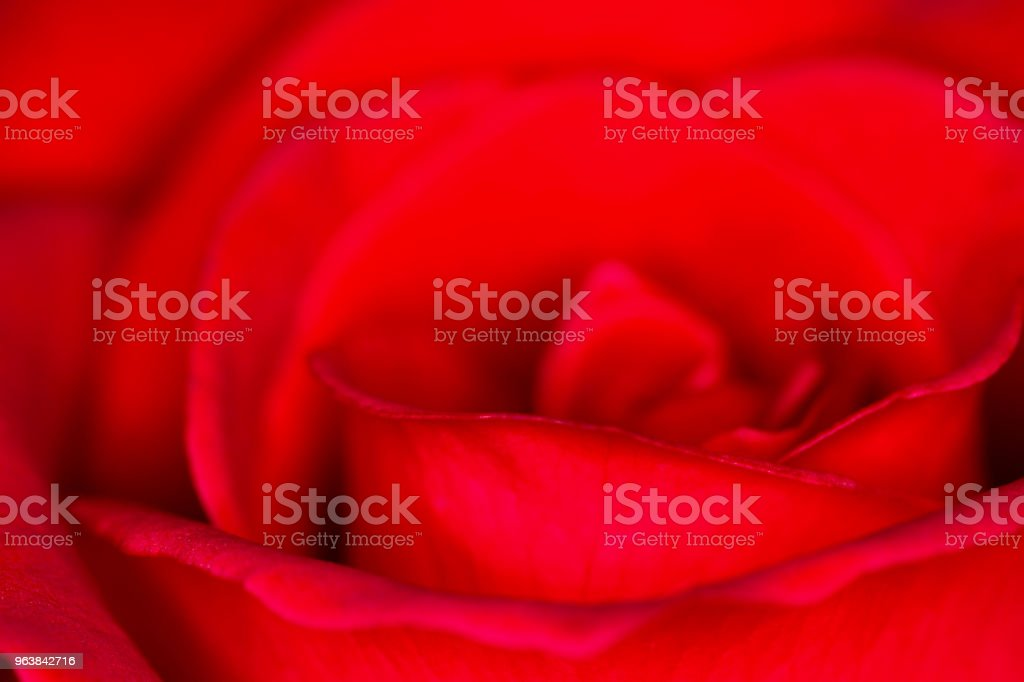Red Rose (rosa sp.) Head Bloom Side Defocused Close-up - Royalty-free Affectionate Stock Photo