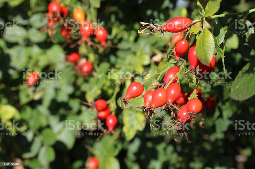 Red Rose Hip on the Ripe – Foto