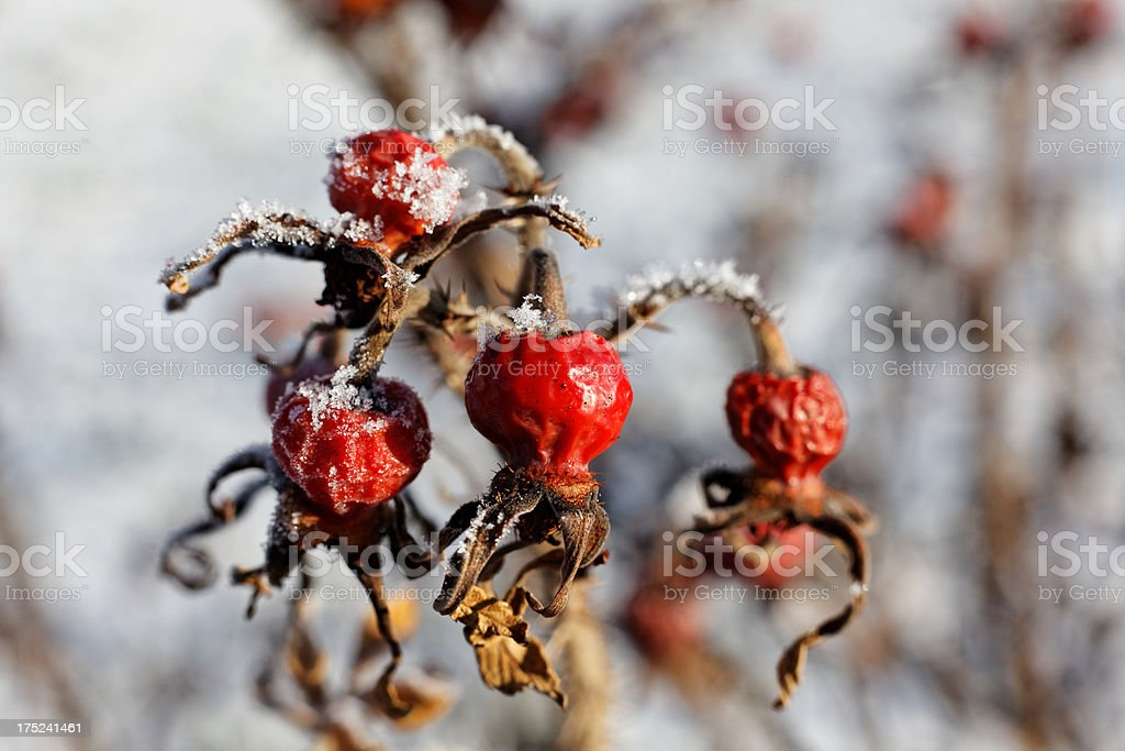 red rose hip royalty-free stock photo
