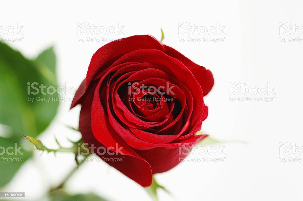 Red Rose Horizontal royalty-free stock photo