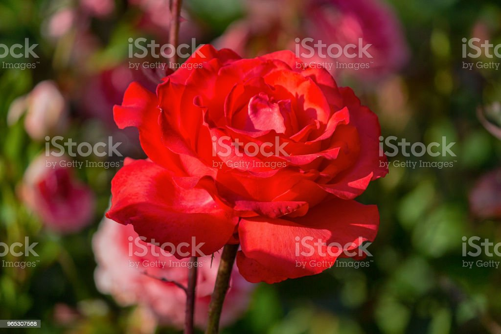 Red rose in a garden close up. Flowers royalty-free stock photo