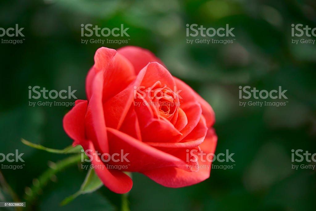 rose rouge dans le jardin - Photo