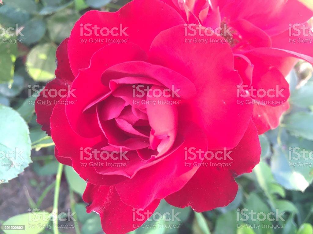 Red rose in garden closeup stock photo