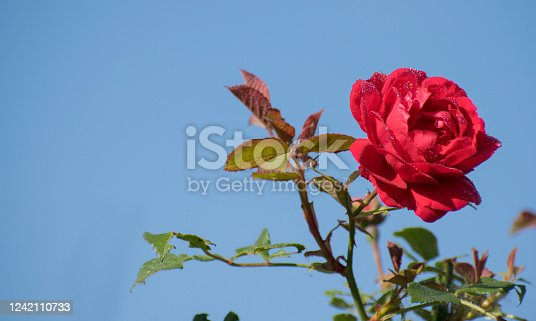 Red rose with splashes of water on a blue background, sky