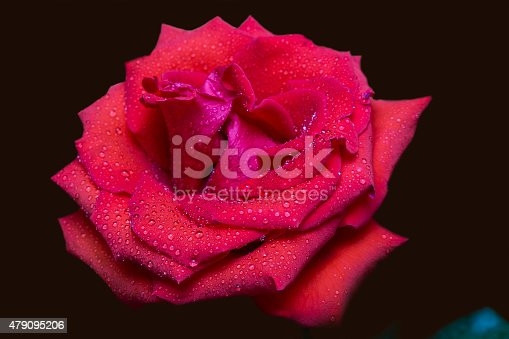 155139080istockphoto Red rose in raindrops on a dark background 479095206