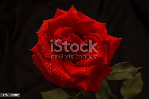 155139080istockphoto Red rose in raindrops on a dark background 479107582