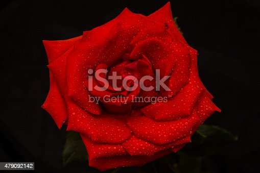 155139080istockphoto Red rose in raindrops 479092142