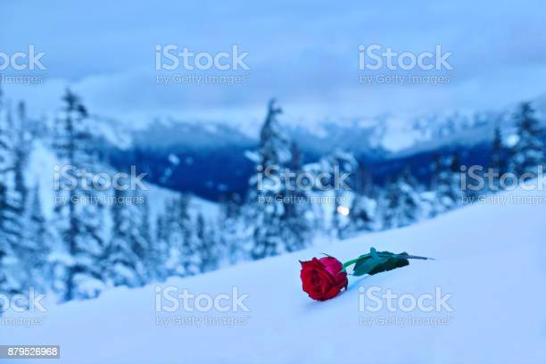 Red rose in snow in a memory of the loved one picture id879526968?b=1&k=6&m=879526968&s=612x612&h=99l jsqhh9t5wdu430q a3ttjqm5td3yxvhvjxzkpjk=